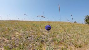 Bee and ladybug on a flower in a field. Flora and fauna of Olkhon island, lake Baikal stock footage