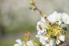 Bee laid on white flowers of a cherry tree. Macro image of nature taken with vintage optics, bright background and pleasantly blurred stock image