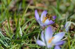Bee in landing approach on purple crocus. In the spring Stock Photo