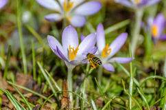 Bee in landing approach on purple crocus. In the spring Stock Photography