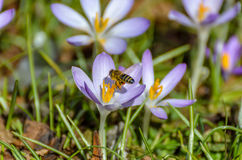Bee in landing approach on purple crocus. In the spring Stock Images