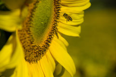 Bee Landing on Sunflower Stock Images