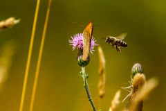 Bee. Lands on a flower with a butterfly Stock Images
