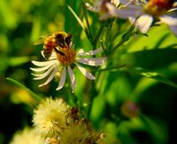 Bee Lands on a Flower in Spring. Macro photo of a bee pollinating a flower Stock Images
