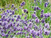 A bee lands on a lavender flower. (Lavandula angustifolia) in search of pollen royalty free stock image