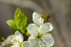 Bee lands on white flowers Royalty Free Stock Photography