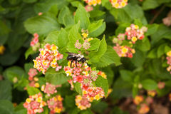Bee on Lantana Royalty Free Stock Image