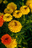 Bee on lantana camara flowers. Stock Photos