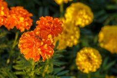 Bee on lantana camara flowers. Stock Image