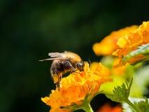 Bee on Lantana Camara Royalty Free Stock Photos