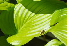 Bee on a large sheet, large green tropical leaves of the flower with large veins. flower leaf texture. Bee on a large sheet, flower leaf texture, large green stock photo