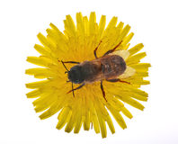 Bee on large yellow dandelion. Bee on isolated yellow bright dandelion royalty free stock images
