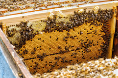 Bee larvae in the hive on a honeycomb. hive Royalty Free Stock Photo