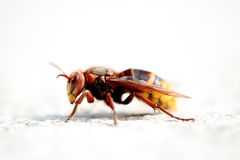 Bee lateral view Royalty Free Stock Image