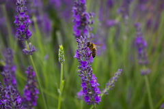 Bee on the lavander flower. Bee collects nectar on a lavender field Royalty Free Stock Images
