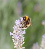 Bee on Lavander Stock Image