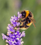 Bee on Lavander Stock Images