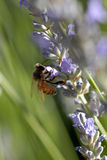 Bee on lavendar. Bee searching for nectar on lavender plant Royalty Free Stock Image