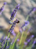 Bee on lavendar Stock Images