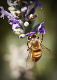 Bee on Lavender. A honey bee on a lavender plant Stock Photography