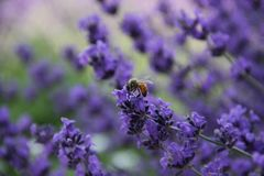 A bee lands on a flowering stalk of vivid colored lavender. stock images