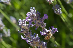 Bee in lavender Royalty Free Stock Images