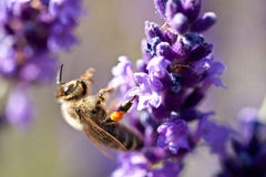 Bee on lavender. A Bee sitting on a lavender plant royalty free stock photo