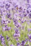 Bee and Lavender Stock Image