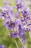 Bee and Lavender Royalty Free Stock Image