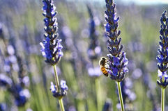 Bee on lavender. Nice backlit shot of lavender plant with bee stock images