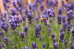 Bee in lavender Stock Photography