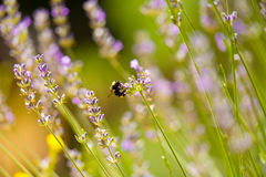 Bee on Lavender Royalty Free Stock Photography