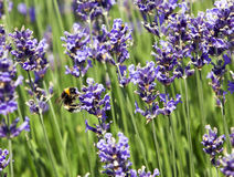 Bee on lavender blossom Royalty Free Stock Photography