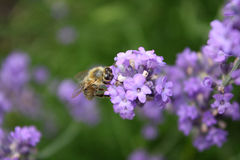 Bee on a lavender blossom Stock Photo