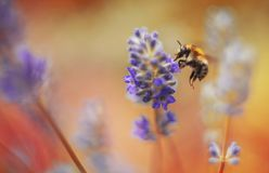 Bee on lavender with bokeh backround Royalty Free Stock Photography