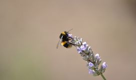 Bee on lavender Royalty Free Stock Image