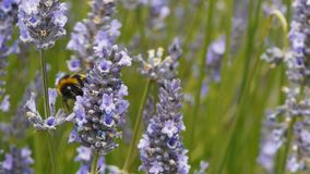 Bee on lavender. A bumblebee collects pollen from lavender stock video footage