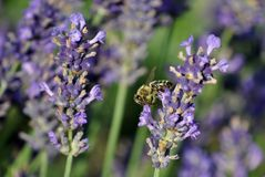 Bee on lavender bush. Bee on a lavender bush in a garden royalty free stock photo
