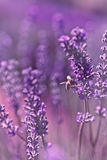 Bee on a lavender bush. Ethereal image with shallow depth of field and lots of soft purple blur of a bee on a lavender bush Stock Photography