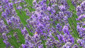 Bee and lavender close up stock video footage