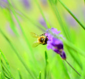 Bee on lavender Royalty Free Stock Photos