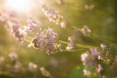 Bee on Lavender in early morning sun Stock Images