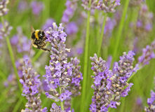 Bee with Lavender. A bee feeding on lavender in Hertfordshire, England Stock Photo