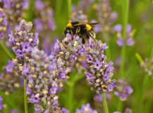 Bee with Lavender. A bee feeding on lavender in Hertfordshire, England Royalty Free Stock Images