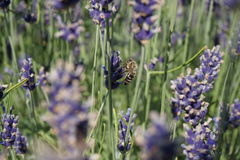 Bee on a lavender Royalty Free Stock Photo
