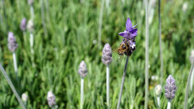 Bee in lavender. A field of lavender purple flowers, one bee working over some flowers, first plane of a work bee with some lavender blossoms in the back Royalty Free Stock Photo
