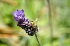 Bee on Lavender flower Stock Image
