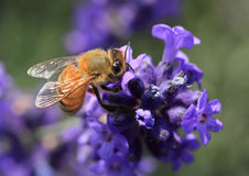 Bee on Lavender Flower Stock Photos