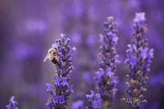 Bee on the lavender Stock Photos