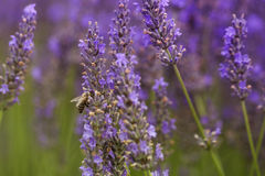 Bee on the lavender Royalty Free Stock Images